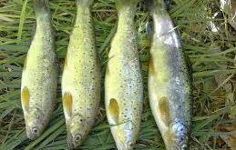 ماهی قزل آلا صادراتی