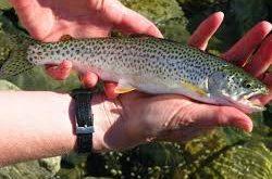 ماهی قزل آلا پرورشی