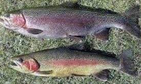 بچه ماهی قزل آلا رنگین کمان