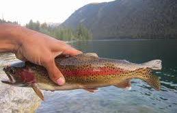 ماهی قزل آلا وحشی