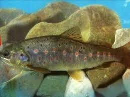 ماهی قزل آلا خال قرمز