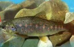 خریدار عمده ماهی قزل آلا