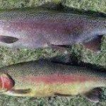 ماهی قزل آلا رنگین کمان