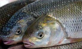 ماهی قزل آلا زنده
