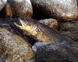 پرورش انواع ماهی قزل آلا در اصفهان