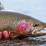 ماهی قزل آلا رنگین کمان ارزان