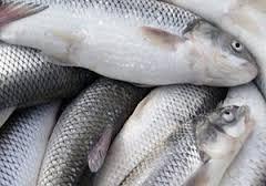 بازار خرید ماهی قزل آلا یزد