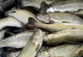 خرید عمده ماهی قزل آلا