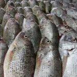 قیمت فروش ماهی قزل آلا