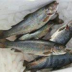 پخش عمده ماهی قزل آلا