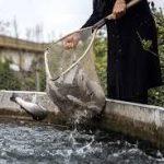 عرضه ماهی قزل آلا