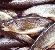 پخش انواع ماهی قزل آلا