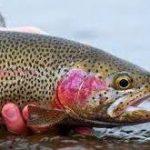 انواع ماهی قزل آلا