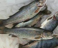 پخش ماهی قزل آلا