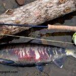 ماهی سالمون اقیانوس