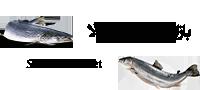 مرجع خرید و فروش ماهی و تجهیزات پرورش آبزیان | ماهی قزل آلا