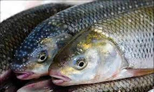 قیمت ماهی قزل آلا