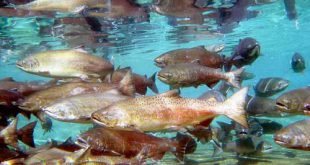 مرکز خرید ماهی قزل آلا