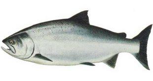 سایت خرید فروش ماهی قزل الا