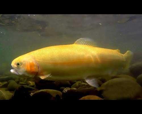 قیمت ماهی قزل آلا طلایی